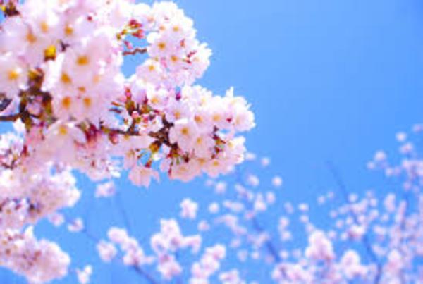 桜の季節になりました…