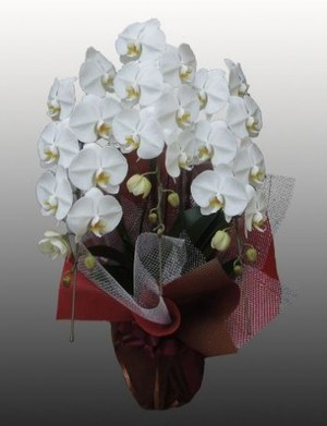 【胡蝶蘭3本立て(白)】開店、開業、就任やお供え物などの贈答用として…
