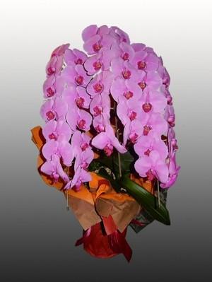 【胡蝶蘭3本立てロング(ピンク)】開店、開業、就任やお誕生日などの贈答品として…