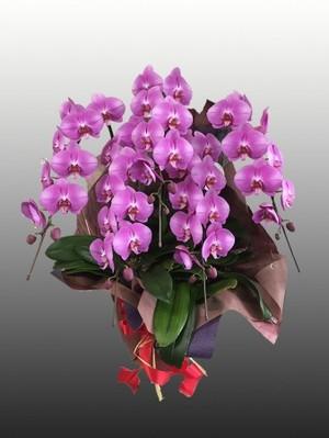 【胡蝶蘭5本立て(ピンク)】開店、開業、就任やお誕生日などの贈答品として…