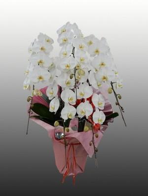 【胡蝶蘭5本立てロング(白)】開店、開業、就任やお供え物などの贈答品として…